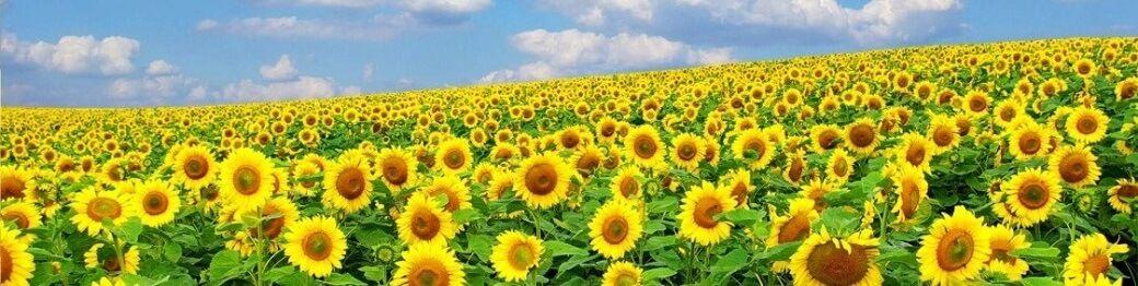 Соняшник на посів