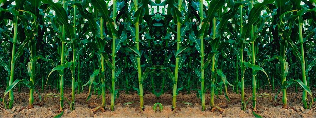 Результат внесения майстер пауер по кукурузе