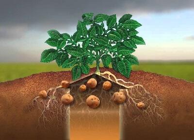 Микроудобрения и удобрения для картофеля