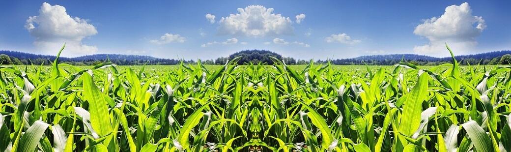 купити насіння кукурудзи в Україні