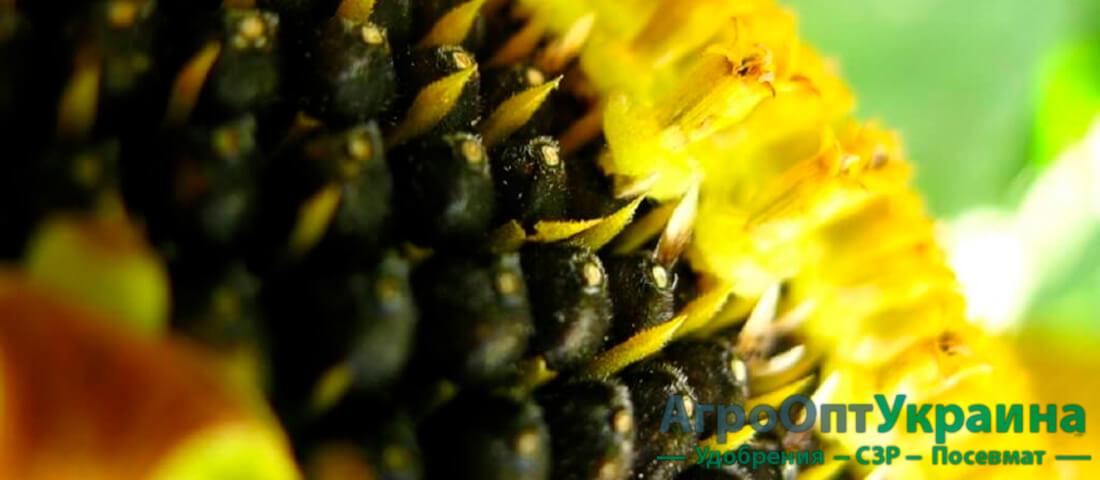 купити насіння соняшника