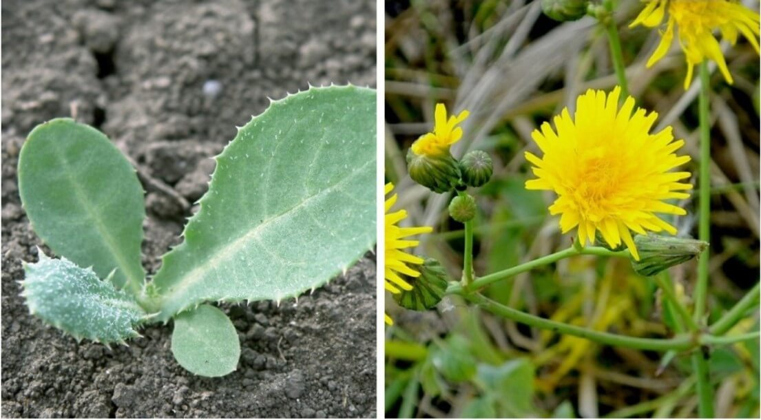 Осот полевой - гербициды против осота на подсолнечнике