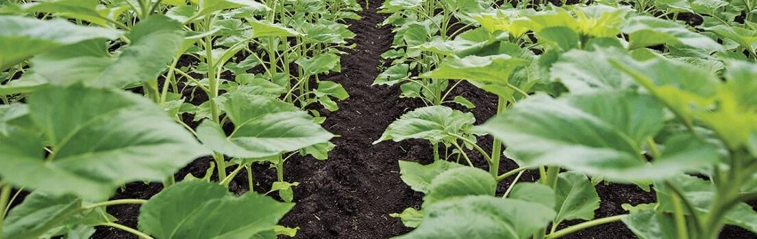Подсолнух на поле после внесения гербицидов
