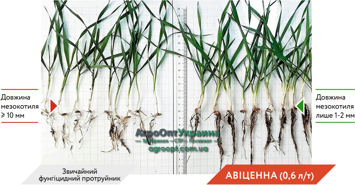 Висока інтенсивність розвитку кореневої системи та листків завдяки протруйнику Авіценна