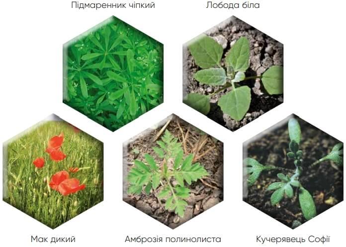 Контроль бур'янів гербіцидом Квелекс 200 ВГ