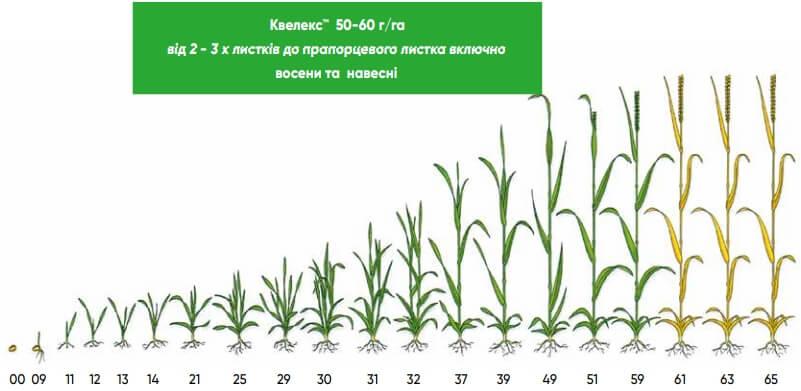 Квелекс™ – застосування гербіцида на зернових